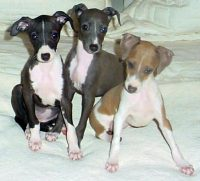 Kims 3 Puppies on web site.jpg
